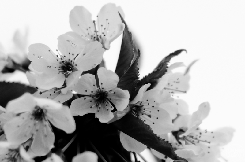 365 Project 110 112 Cherry Blossoms In Black White April 22