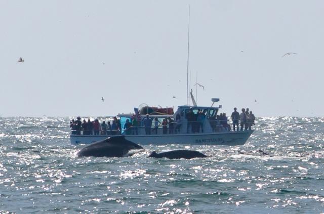 humpback whales monterey peninsula