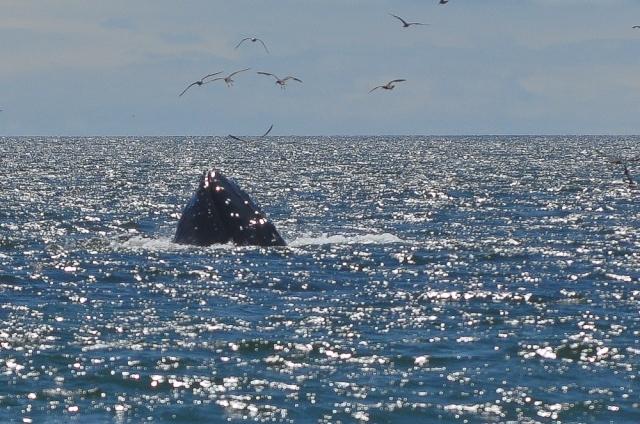 Humpback whale lunge feeding - Capitola, California