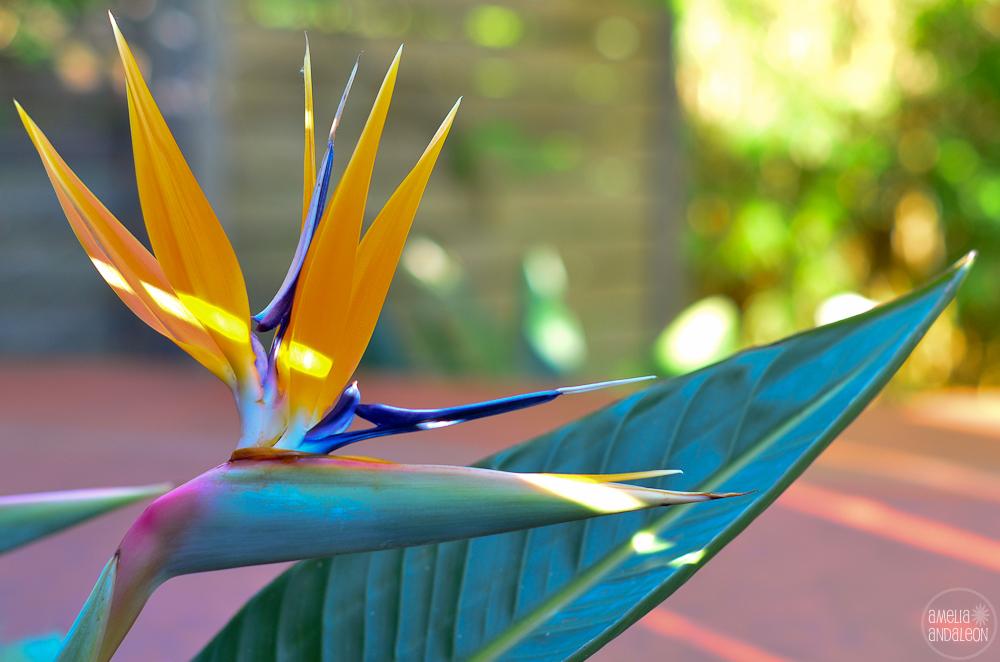 Bird of paradise - springtime Danville, California