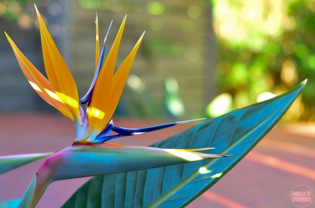 Bird of paradise - springtime Danville, California