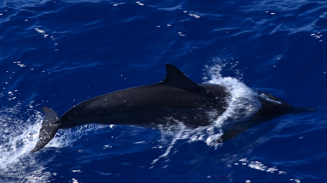 Happy Earth Day 2015 - Spinner Dolphin - Big Island, Hawaii